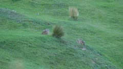 European hares grazing