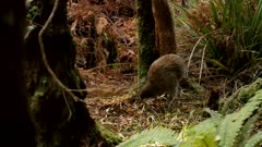 Southern brown kiwi hunting in daylight on Stewart Island