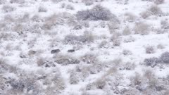 Young feral pigs fleeing through tussock grass and snow