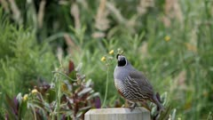 California quail male on post calling