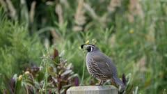 California quail male on post exits