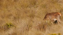 Red deer hinds feeding in tussock grassland one enters and exits