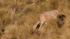 Red deer hind feeding in tussock grassland