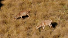 Red deer hinds feeding in tussock grassland one exits