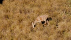 Red deer hinds feeding in tussock grassland near forest edge