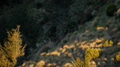 Red deer hind grazing in tussock grassland near bush edge
