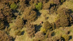 Red deer hind feeding in grass clearing in scrub