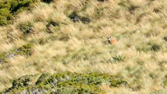 Red deer stag travelling through scrub and deep tussock