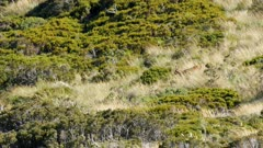 Red deer stag travelling through scrub and tussock