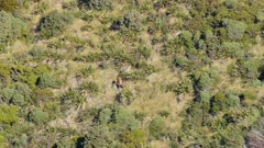 Red deer stag feeding in scrub and tussock