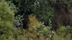 Sambar stag in rut moving through thick scrub