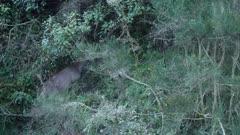 Sambar hind in thick scrub at dusk