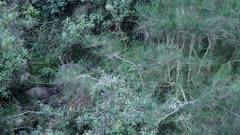 Sambar hinds and fawn feeding in thick scrub at dusk