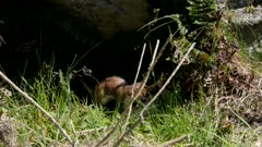 Stoat short-tailed weasel looking for prey
