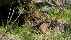 Stoat short-tailed weasel looking for prey exits