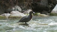 Blue duck on rock swims then flies down stream
