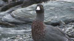 Blue duck on bank of fast flowing stream grooming rain falling