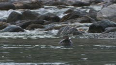 Blue duck swimming in clear mountain stream