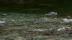 Blue duck swimming in a clear mountain stream charges toward camera
