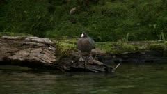 Blue duck on log swims toward camera