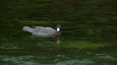 Blue duck in calm section of clear mountain stream charges toward camera and exits