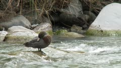 Blue duck on rock in fast flowing stream grooming