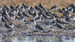 Wrybill flock plus on New Zealand dotterel resting and grooming many hopping on one leg