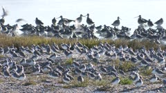 Wrybill flock plus two lesser sand plover resting and preening Bar-tailed godwits in background