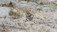 Banded dotterel newly hatched chick on riverbed hot day unsteady