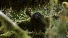 New Zealand falcon in thick forest exits