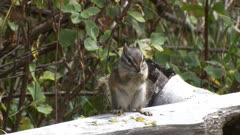 Least chipmunk sitting on a log eating a flower exits and returns with a new one