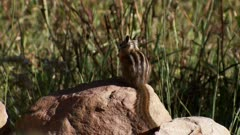 Least chipmunk sitting on a rock eating