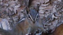 Least chipmunk close-up exits