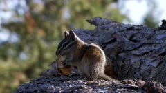 Least chipmunk sitting on a log eating