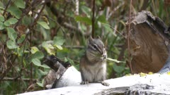 Least chipmunk on log eating grass seedhead exits