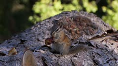 Least chipmunk on log eating