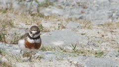 Banded dotterel adult with newly hatched chick on riverbed hot day unsteady