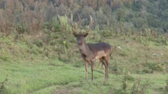 Fallow deer buck during rut suspicious