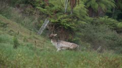 Fallow deer buck during rut one antler walking stamping feet and croaks magpies calling