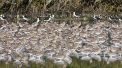 Bar-tailed godwits non-breeding plumage resting grooming and walking together in shallows pied stilts in background