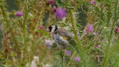 European goldfinch feeding on thistle seeds in wet weather exits