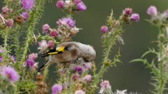 European goldfinch juvenile feeding on thistle seeds in wet weather