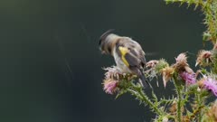 European goldfinch feeding on thistle seeds in wet weather rain falling exits