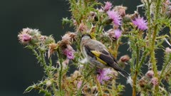 European goldfinch feeding on thistle seeds in wet weather