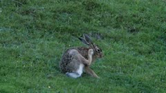 European hare grooming and scratching ear