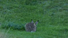 European hare feeding