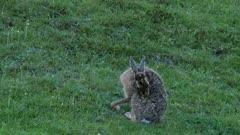 European hare grooming