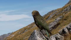 Kea on rock watching stretches wing