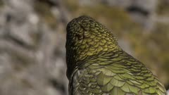 Kea close-up of feather pattern