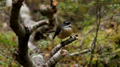 New Zealand fantail flying off perch to catch insects and returning